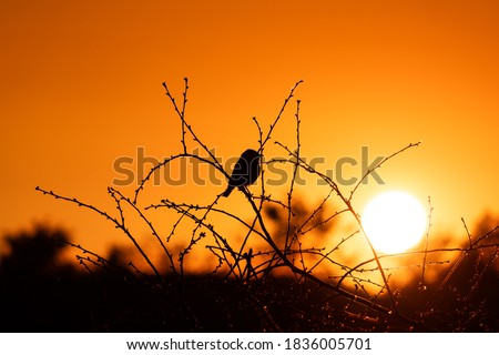A red-backed shrike (Galerida cristata) bird sits on the branches of a tree without leaves against the background of an orange sky and sun at sunset