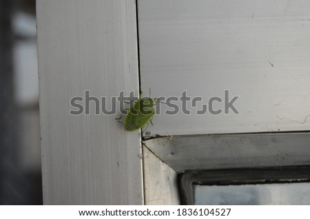 The green stink bug or green soldier bug (Chinavia Hilaris) is a stink bug of the family Pentatomidae. Arthropoda insect Hemiptera shield shaped bug. #1836104527