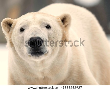 A picture of the beautiful view of POLAR BEAR