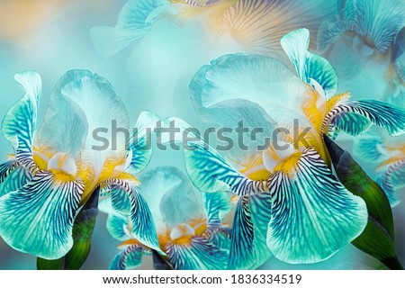 Spring bouquet of turquoise irises flowers on a sunny white-turquoise background. Close-up.Greeting card. Nature. Royalty-Free Stock Photo #1836334519