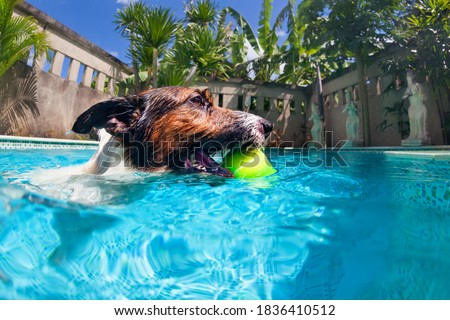 Funny photo of jack russell terrier puppy playing with fun in swimming pool - jump, dive deep down to fetch ball. Activities, training classes with family pets. Popular dog breeds on summer vacation.