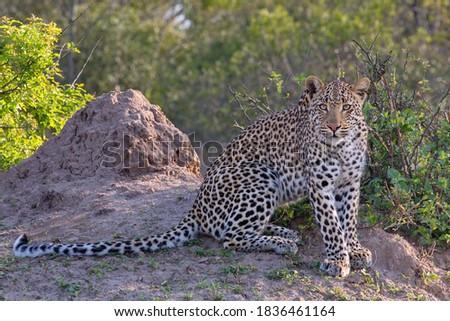 Leopard in the wild drinking