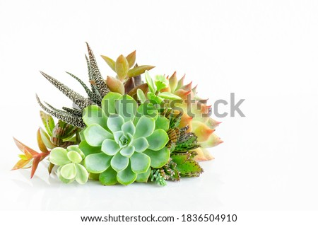Mini Echeveria succulent plant centerpiece arrangement isolated on white table top background Royalty-Free Stock Photo #1836504910