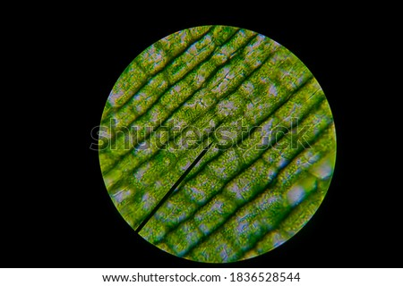 Green leaf grains also known as chloroplasts in cells of a waterweed seen through a microscope. Biology experiment. Royalty-Free Stock Photo #1836528544
