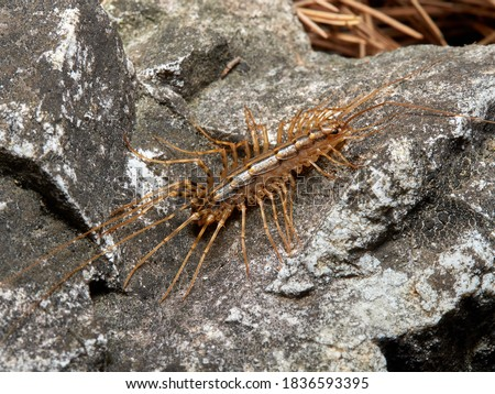 House centipede. Scutigera coleoptrata in a natural enviroment.   Royalty-Free Stock Photo #1836593395