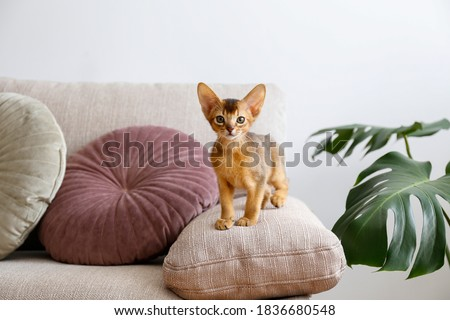 Two month old cinnamon abyssinian cat at home. Beautiful purebred short haired kitten on beige textile couch in living room. Close up, copy space, background,. Royalty-Free Stock Photo #1836680548
