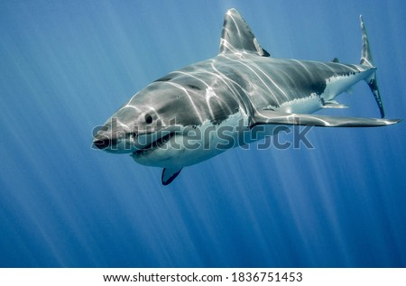 While large sharks, like tiger and white sharks, don't have to worry much about predators, small sharks aren't that lucky. Some shark species are incredibly small, so they can prey on larger species🦈 Royalty-Free Stock Photo #1836751453