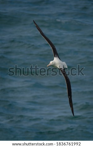 Diomedea sanfordi - Northern Royal Albatross big white bird flying above the blue sea and hunting fish and food in New Zealand near Otago peninsula, South Island. #1836761992