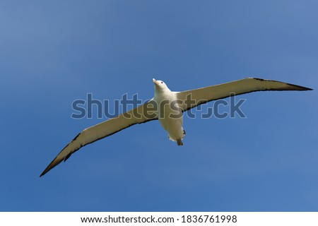 Diomedea sanfordi - Northern Royal Albatross big white bird flying above the blue sea and hunting fish and food in New Zealand near Otago peninsula, South Island. #1836761998