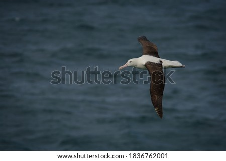 Diomedea sanfordi - Northern Royal Albatross big white bird flying above the blue sea and hunting fish and food in New Zealand near Otago peninsula, South Island. #1836762001