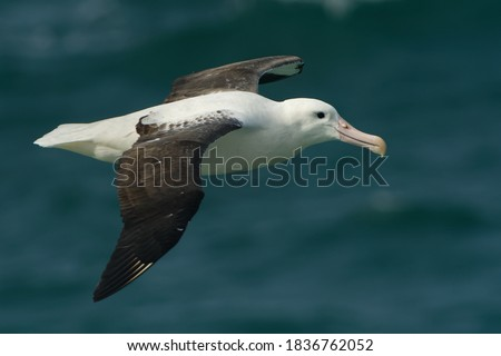 Diomedea sanfordi - Northern Royal Albatross big white bird flying above the blue sea and hunting fish and food in New Zealand near Otago peninsula, South Island. #1836762052