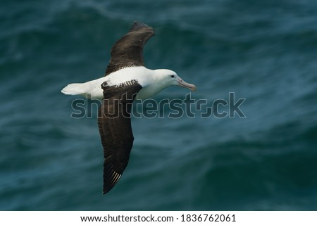Diomedea sanfordi - Northern Royal Albatross big white bird flying above the blue sea and hunting fish and food in New Zealand near Otago peninsula, South Island. #1836762061
