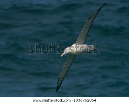 Diomedea sanfordi - Northern Royal Albatross big white bird flying above the blue sea and hunting fish and food in New Zealand near Otago peninsula, South Island. #1836762064