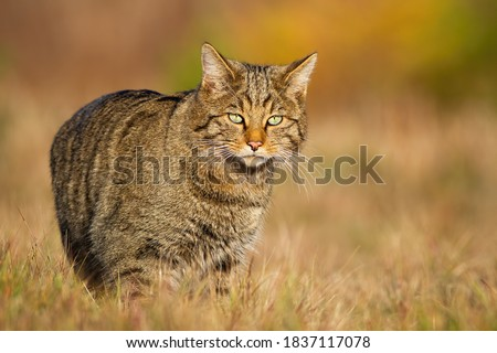 European wildcat, felis silvestris, walking on sunlit meadow in autumn nature. Stripped mammal hunter looking to the camera on dry grass. Animal wildlife on field in fall at sunset. Royalty-Free Stock Photo #1837117078