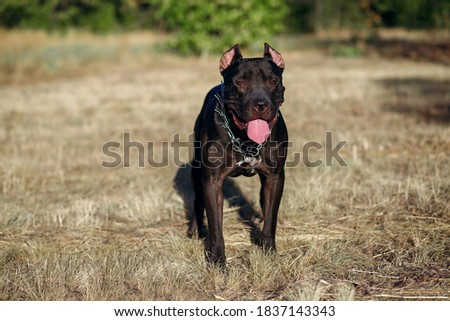 A black pitbull with a chain around his neck calmly looks at the owner. A walk in the park with a strong fighting dog, education of obedience and the ability to protect the owner. Free space for text