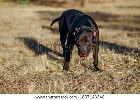 A black pitbull with a chain around its neck looks intently and anxiously to the side. Fighting strong breed of dog for a walk. Free space for text
