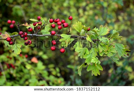 Hawthorn is a species of hawthorn originating in Europe, Northwest Africa and West Asia. It also occurs in other parts of the world, where it can be an invasive species. It is tolerant to the soil, Royalty-Free Stock Photo #1837152112