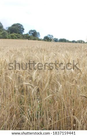 Field of wheat, Harwest of bread wheat , Triticum aestivum, Triticum monococcum #1837159441