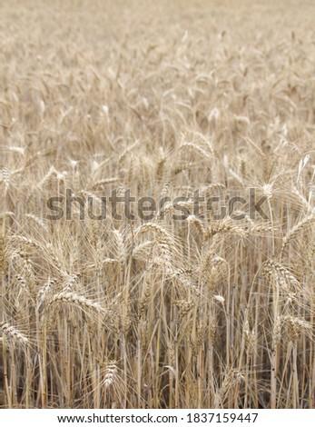 Field of wheat, Harwest of bread wheat , Triticum aestivum, Triticum monococcum #1837159447