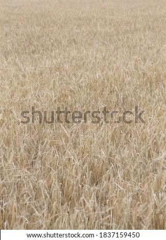 Field of wheat, Harwest of bread wheat , Triticum aestivum, Triticum monococcum #1837159450