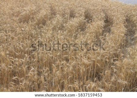 Field of wheat, Harwest of bread wheat , Triticum aestivum, Triticum monococcum #1837159453