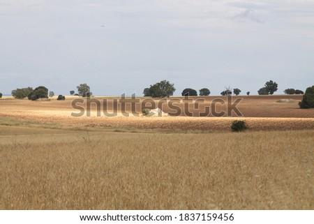 Field of wheat, Harwest of bread wheat , Triticum aestivum, Triticum monococcum #1837159456