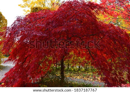 A beautiful Japanese red maple tree on a sunny autumn day Royalty-Free Stock Photo #1837187767