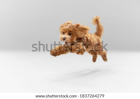 Sincere emotions. Maltipu little dog is posing. Cute playful braun doggy or pet playing on white studio background. Concept of motion, action, movement, pets love. Looks happy, delighted, funny. Royalty-Free Stock Photo #1837264279