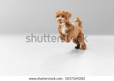 On the run. Maltipu little dog is posing. Cute playful braun doggy or pet playing on white studio background. Concept of motion, action, movement, pets love. Looks happy, delighted, funny. Royalty-Free Stock Photo #1837264282