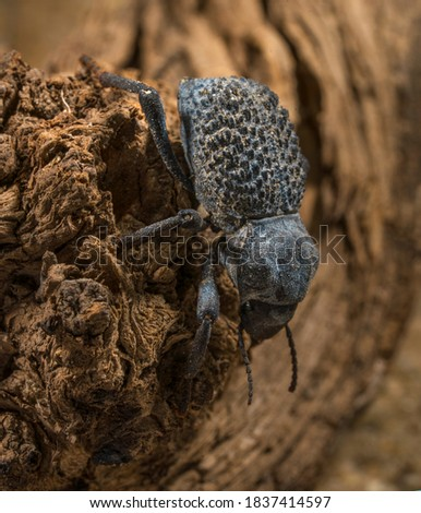 This macro image shows a top view of a Asbolus verrucosus (desert ironclad beetles or blue death feigning beetles) beetle climbing down desert driftwood. Royalty-Free Stock Photo #1837414597
