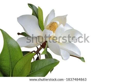 Photo magnolia  close up isolated on white background.
