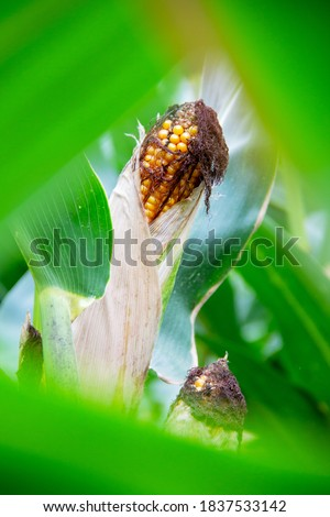 picture of a maize plant with its corn cob, Zea mays
