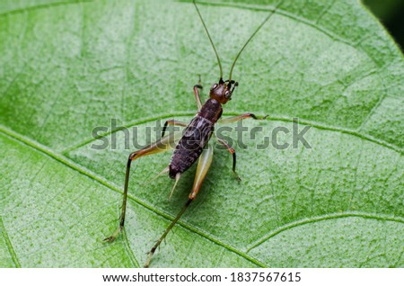 picture of small invertebrate young crickets