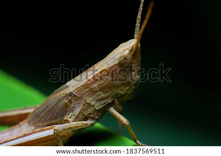 picture of close up brown grasshopper