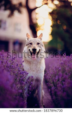 the Czechoslovakian wolf laughs at me every time I take a picture of him
