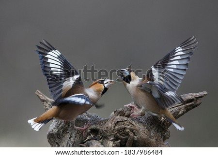 Hawfinches fighting  (Coccothraustes coccothraustes), high resolution sharp image of wild birds.