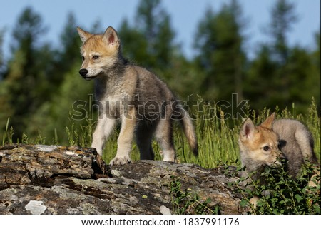 Wolf pups, in USA, North America Royalty-Free Stock Photo #1837991176