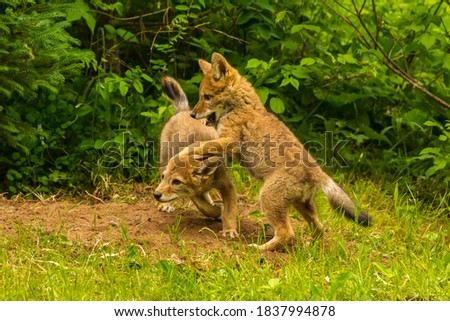 USA, Minnesota, Pine County. Coyote pups playing at den. Royalty-Free Stock Photo #1837994878