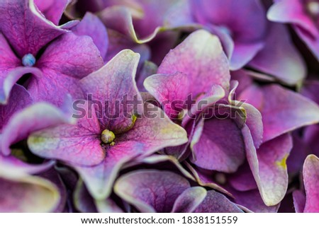 picture of a purple flowering hydrangea flowers