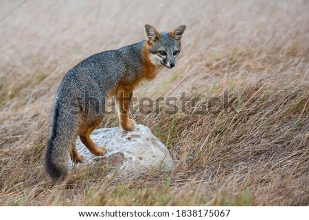 A rare, wild island fox searching for food on Santa Rosa Island in Channel Islands National Park. The island fox is found only on these islands and nowhere else in the world. #1838175067
