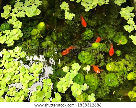 Lovely gold fish with little fish, the natural green of water plants and water Lettuce in the small pond