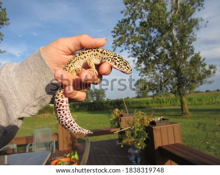 Leopard Gecko pictured outdoors being held