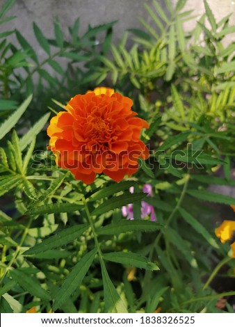 Pic of a Marigold flower