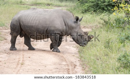 white rhino one of the big 5 animals at the kruger national park in south africa #183843518