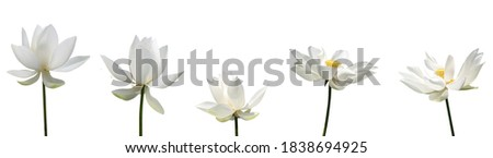 A white lotus flower isolated white