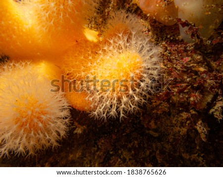 A closeup picture of a feeding soft coral dead man's fingers or Alcyonium digitatum. Picture from the Weather Islands, Skagerrak Sea, western Sweden