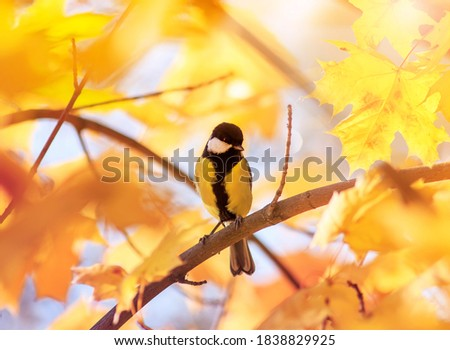 portrait of a chickadee sitting in an autumn Park among Golden maple leaves on a Sunny day #1838829925