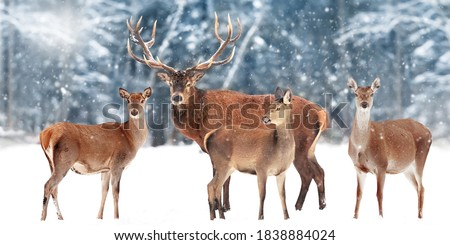 Family of  noble deer against the background of a beautiful winter snow forest. Artistic winter landscape. Christmas image. Wide format. Royalty-Free Stock Photo #1838884024