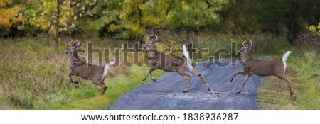 white-tailed deer (Odocoileus virginianus) running in autumn #1838936287
