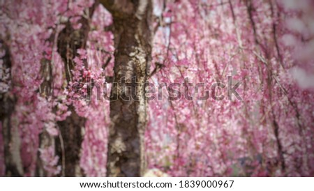Blur picture background of cherry blossom full blooming in the garden at Japan,  Asia.